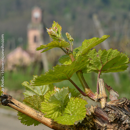 New leaves in the vineyards of the Schoenenbourg hill in Riquewihr